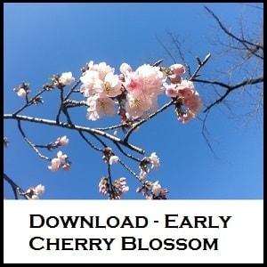 Cherry blossom Tokyo