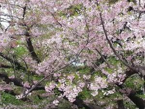 Ogawara cherry blossom