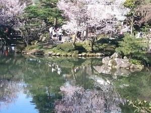 Kanazawa cherry blossom