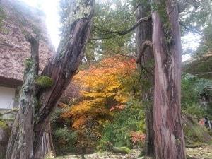 Shirakawa-go leaf viewing